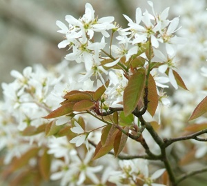 Amelanchier lamarckii Krentenboom