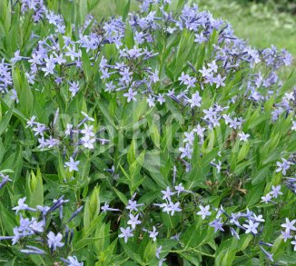Amsonia 'Blue Ice' Blauwe ster