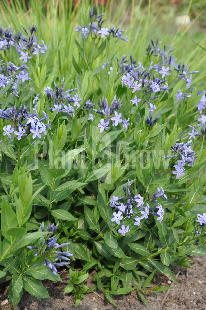 Amsonia 'Blue Ice'   Blauwe ster