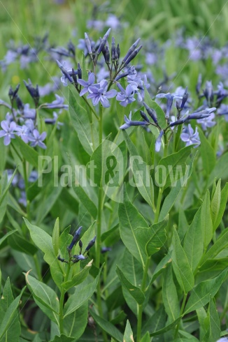Amsonia 'Blue Ice' | Blauwe ster