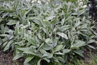 Anaphalis triplinervis | Siberisch edelweiss nog niet in bloei