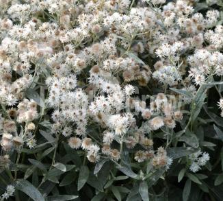 Anaphalis triplinervis Siberisch edelweiss