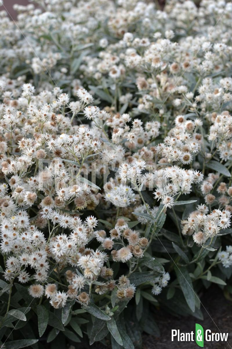 Anaphalis triplinervis | Siberisch edelweiss
