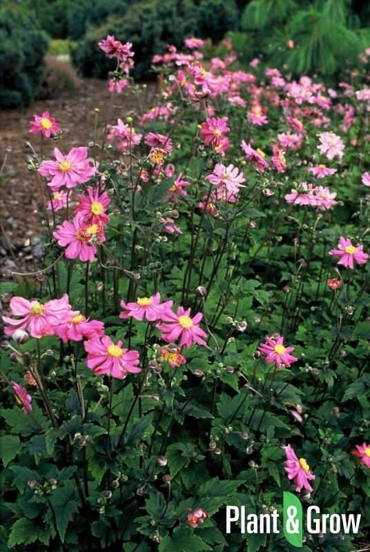 Anemone hupehensis 'Prinz Heinrich' | Herfstanemoon