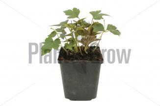 Anemone hupehensis 'Prinz Heinrich' | Herfstanemoon (pot 9x9cm) - VOORJAAR