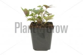 Anemone hupehensis 'Splendens' | Herfstanemoon (pot 9x9cm) - VOORJAAR