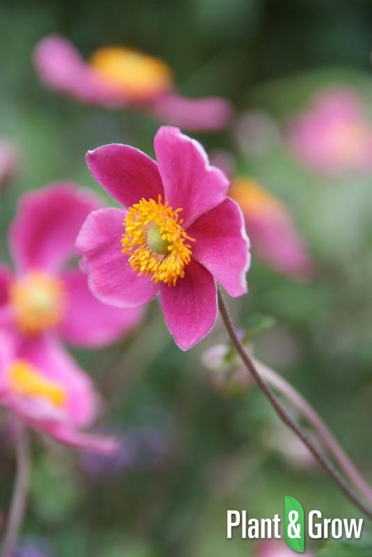 Anemone hupehensis 'Splendens' | Herfstanemoon