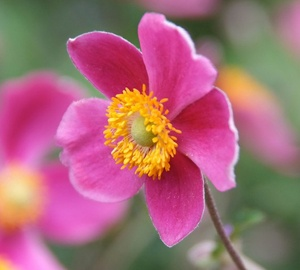 Anemone hupehensis 'Splendens' Herfstanemoon