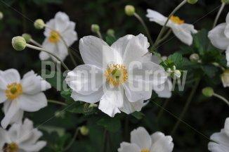 Anemone hybrida 'Honorine Jobert' | Herfstanemoon