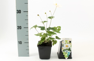 Anemone hybrida 'Honorine Jobert' | Herfstanemoon (pot 9x9cm)