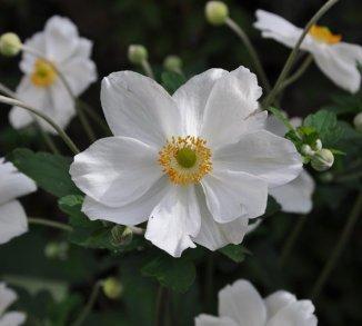 Anemone hybrida 'Honorine Jobert' Herfstanemoon