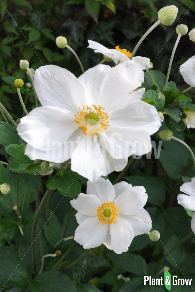 anemone hybrida 39 honorine jobert 39 kopen plant grow. Black Bedroom Furniture Sets. Home Design Ideas