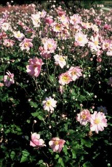 Anemone hybrida 'Königin Charlotte' | Herfstanemoon