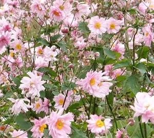 Anemone hybrida 'Königin Charlotte' Herfstanemoon
