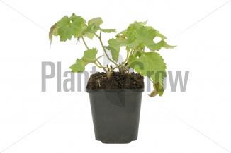 Anemone hybrida 'Königin Charlotte' | Herfstanemoon (pot 9x9cm) - VOORJAAR