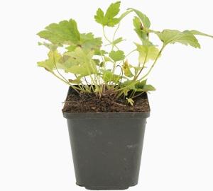 Anemone hybrida 'Pamina' Herfstanemoon