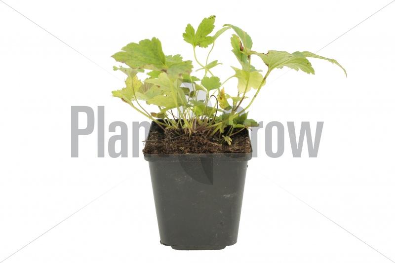 Anemone hybrida 'Pamina' | Herfstanemoon (pot 9x9cm)