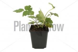 Anemone hybrida 'Serenade' | Herfstanemoon (pot 9x9cm)