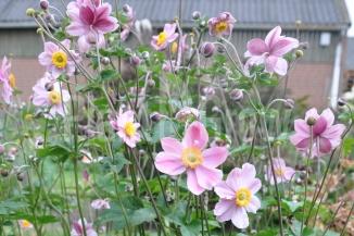 Anemone hybrida 'Serenade' | Herfstanemoon