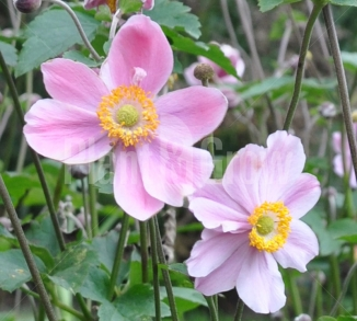 Anemone hybrida 'Serenade' Herfstanemoon