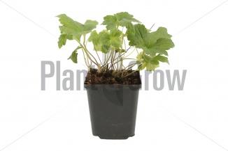 Anemone hybrida 'Whirlwind' | Herfstanemoon (pot 9x9cm) - VOORJAAR
