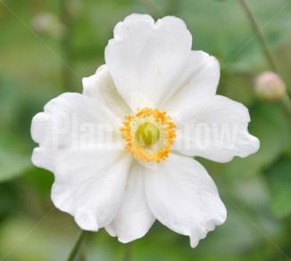 Anemone hybrida 'Whirlwind' Herfstanemoon