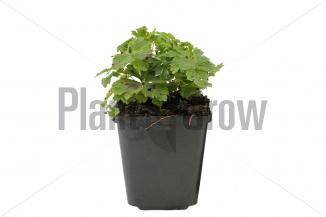 Anemone sylvestris | Anemoon (pot 9x9cm) - ZOMER