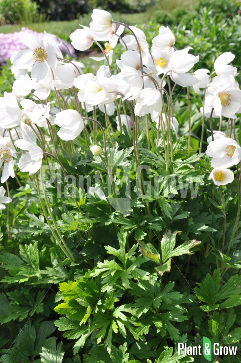 Anemone sylvestris | Anemoon