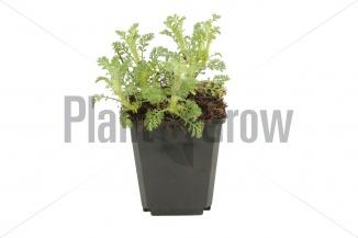 Anthemis hybrida 'Sauce Hollandaise' | Gele kamille (pot 9x9cm) - voorjaarsbeeld