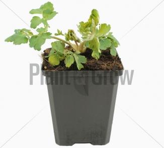 Aquilegia vulgaris 'Black Barlow' Akelei