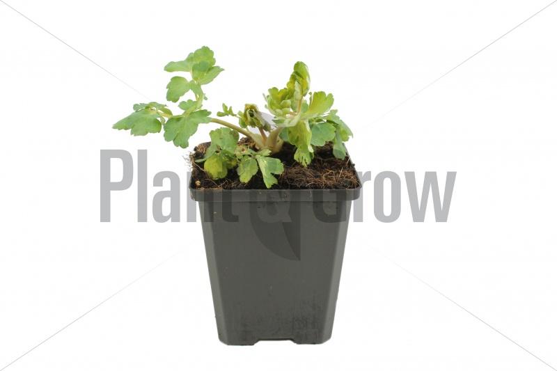 Aquilegia vulgaris 'Black Barlow' | Akelei (pot 9x9cm)