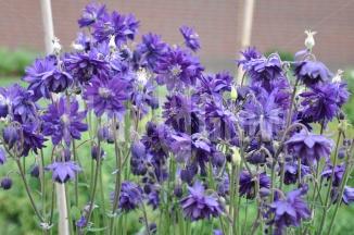 Aquilegia vulgaris 'Black Barlow' | Akelei