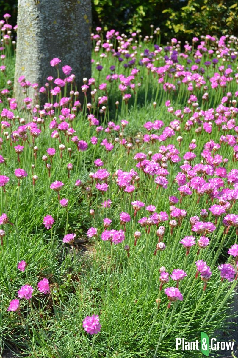 Armeria maritima 'Splendens' | Engels gras