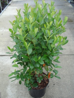 Aronia melanocarpa | Appelbes (12L pot)