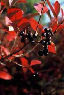 Aronia melanocarpa | Appelbes herfstkleur en bes