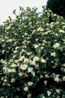 Aronia melanocarpa | Appelbes
