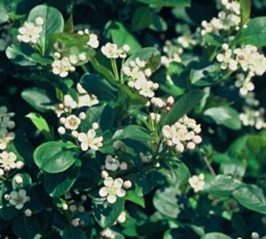 Aronia melanocarpa Appelbes