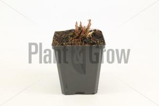 Aruncus dioicus | Geitenbaard (pot 9x9cm) - WINTER