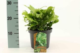 Asplenium scolopendrium (Ø 17cm pot)
