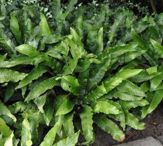 Asplenium scolopendrium Tongvaren