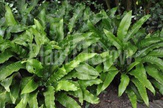 Asplenium scolopendrium | Tongvaren