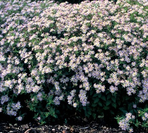 Aster ageratoides 'Asran' Aster