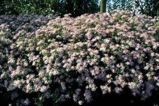 Aster ageratoides 'Asran' | Aster