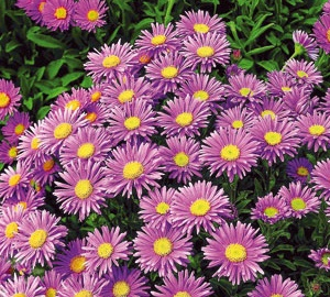 Aster alpinus 'Happy End' Alpenaster