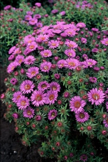 Aster novae-angliae 'Purple Dome' | Herfstaster