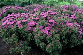 Aster novae-angliae 'Purple Dome' | Herfstaster