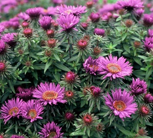 Aster novae-angliae 'Purple Dome' Herfstaster