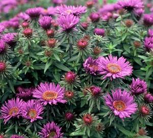 Aster novae-angliae 'Purple Dome' Herfstaster