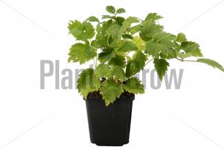 Astilbe chinensis 'Pumila' | Pluimspirea (pot 9x9cm)