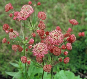Astrantia major 'Lars' Zeeuws Knoopje